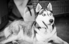 husky with bright eyes