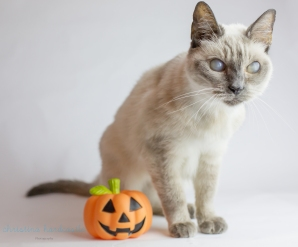 siamese cat with pumpkin