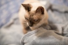 siamese cat on blanket