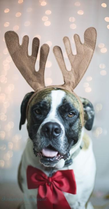 reindeer bulldog