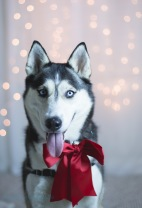 husky with red bow
