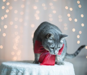 cat with red bow