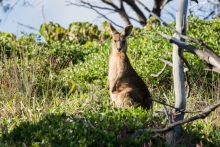 wallaby in the wild