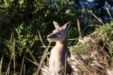 kangaroo in bushes