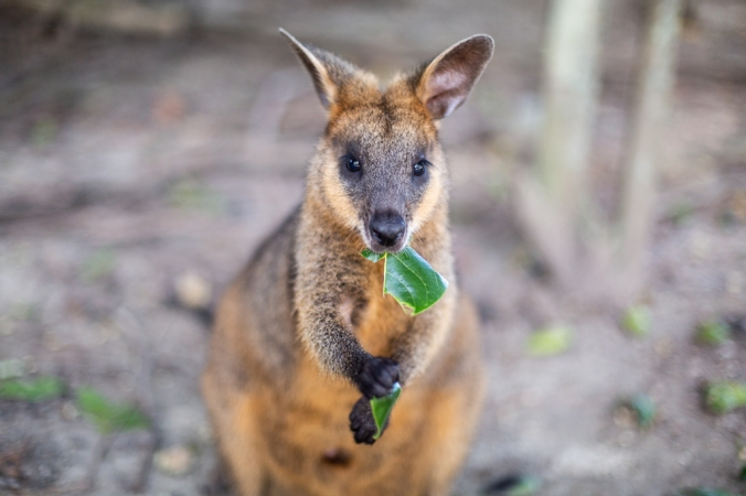 wallaby eating green leaf