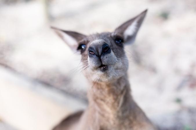 kangaroo nose