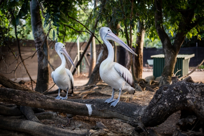 two pelicans on log