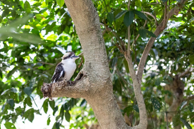 kookaburra in a tree