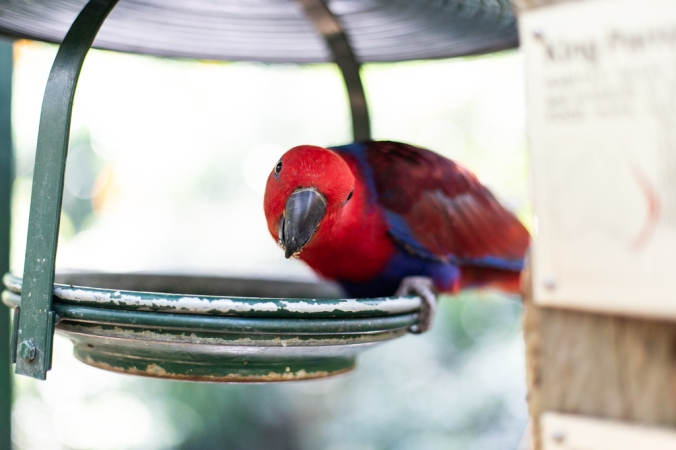 red and blue parrot looking while eating